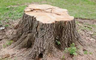 tree stump removal reasons mister tree
